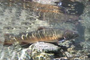 Salmo River Bull Trout are blue listed. Please release, if you catch them.